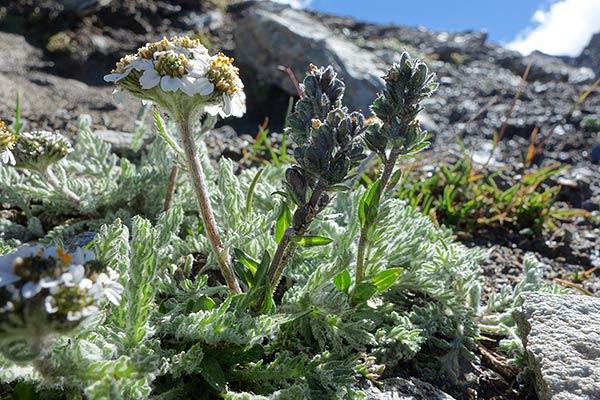 Zainoinspalla la natura in montagna fiori estate for Pianta mediterranea con fiori rossi bianchi e gialli