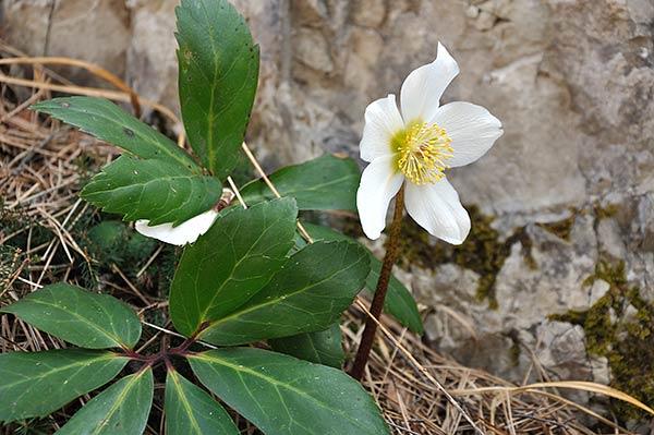 Zainoinspalla la natura in montagna inizia con la for Elleboro bianco