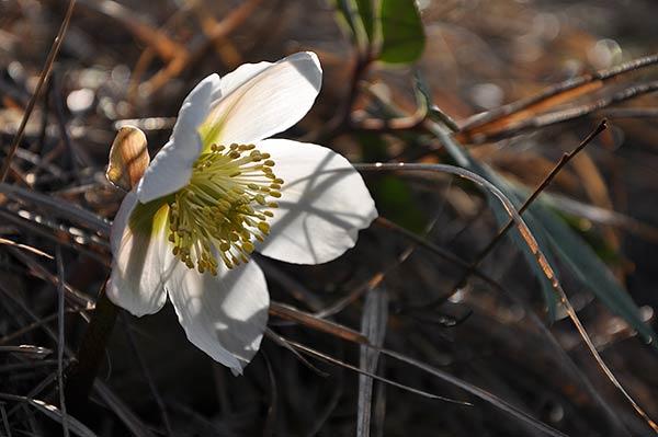 Zainoinspalla la natura in montagna fiori inverno for Elleboro bianco
