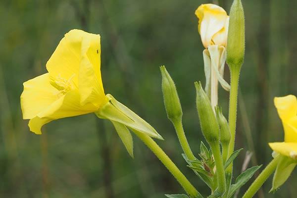 Fiori Gialli Con Quattro Petali.Zainoinspalla La Natura In Montagna Fiori Primavera